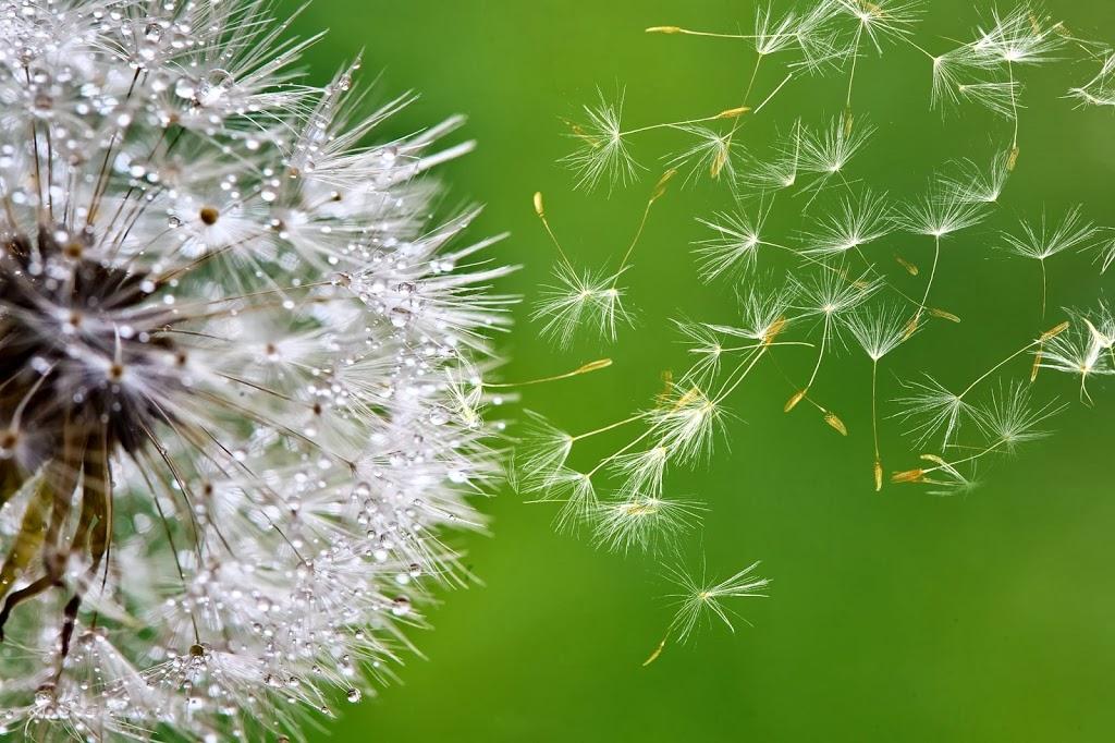 dandelion_puff