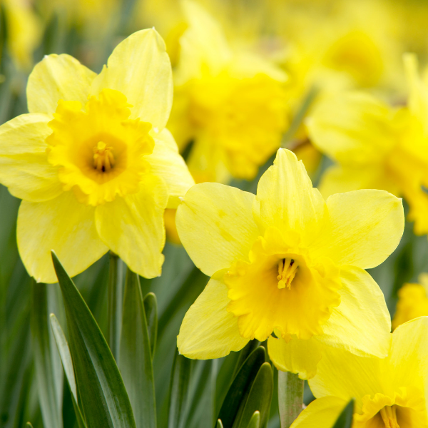 daffodils_in_bloom