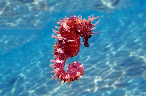 seahorse_coral_coloured_in_water