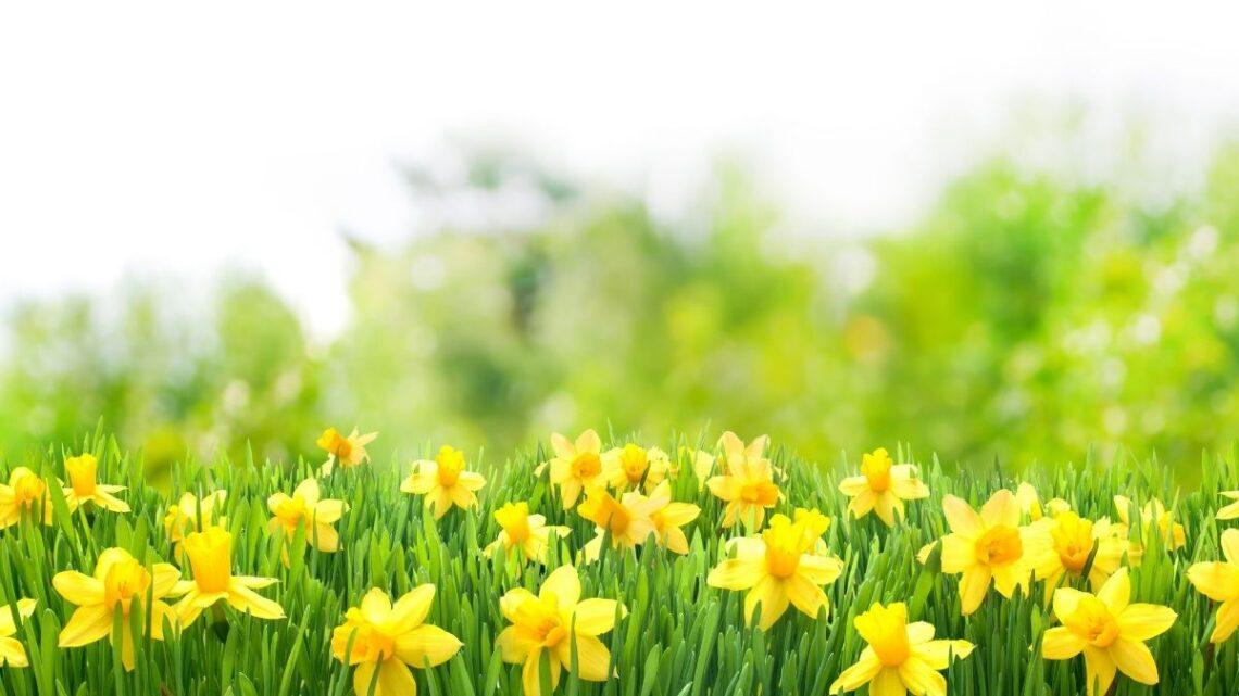 spring_brain_breaks_game_daffodiils_in_field